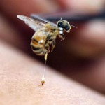 Friday Fun Fact – Bee Venom Therapy