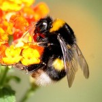 Friday Fun Facts – Bumblebee Stings