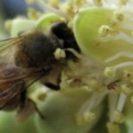 Friday Fun Facts – Forager Bees