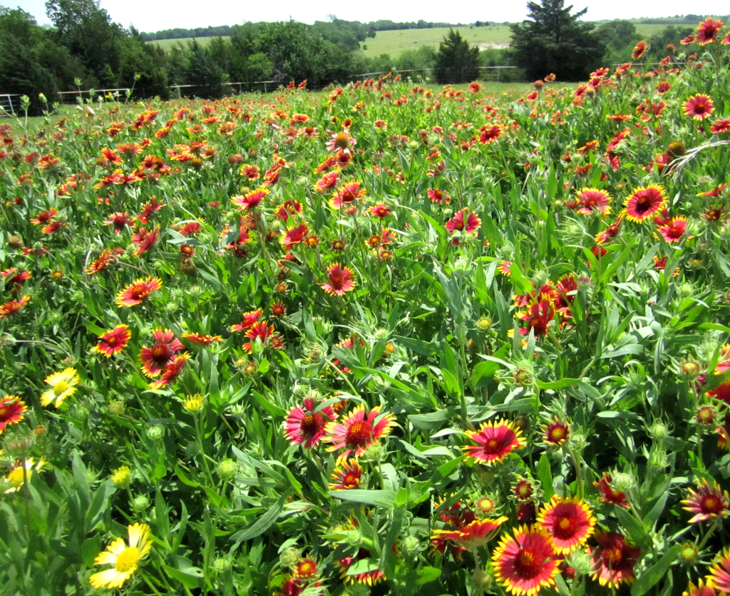 Colorful Indian Blankets Bloom Across Texas