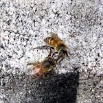 Honey Harvest 2016